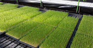 青ねぎの水栽培