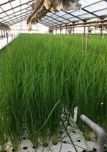 水栽培は成長が早いので1週間ほどで収穫できます。
